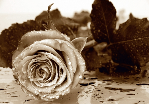 Fototapet Trandafir FTS 0086