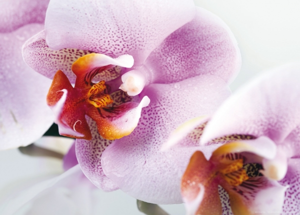 Fototapet Orhidee FTM 0489 1