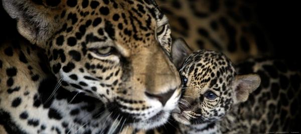 Fototapet Leoparzi - Mama si Puiul