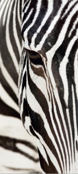 Fototapet Zebra 0