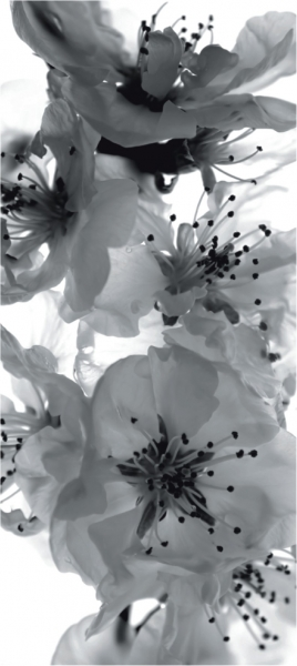 Fototapet Flori de Cires in Alb si Negru FTV 0221